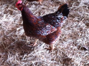 Rhode Island Red Barred Rock Cross Hen