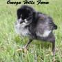 Augsburger Chick
