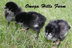 Augsburger Chicks