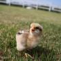 bielefelder-female-chick