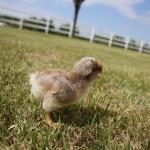 bielefelder-male-chick-2