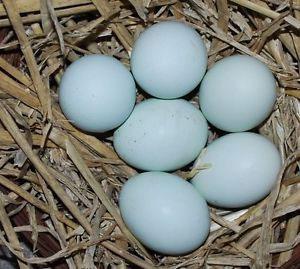 cream-legbar-eggs