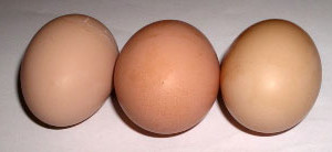 orpington-eggs