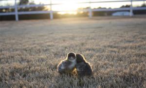 slider-blue-isbar-chicks