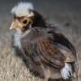 tolbunt-polish-chick