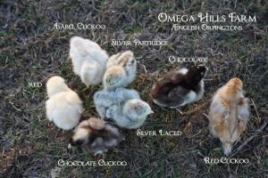 orpington-chicks