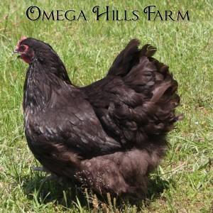 chocolate-orpington-hen2