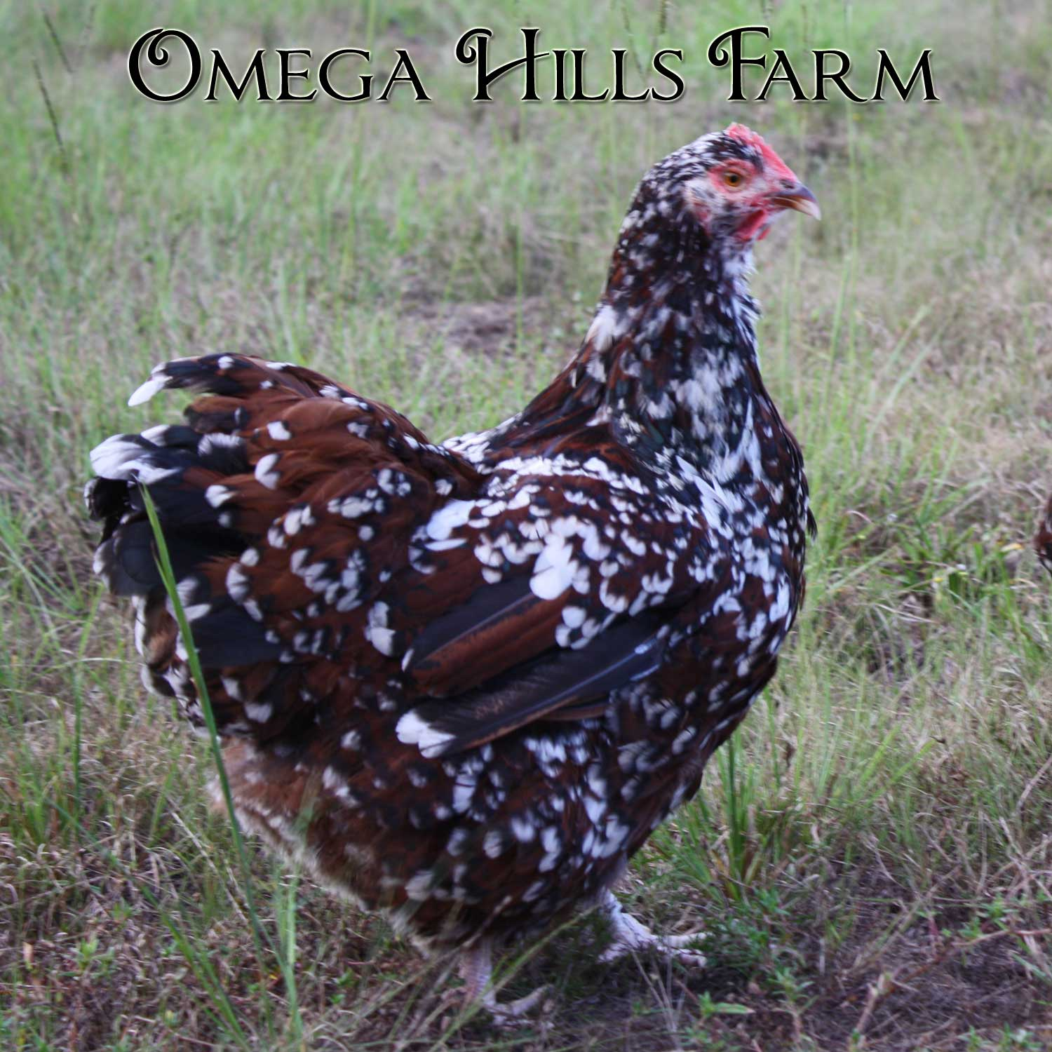 english jubilee orpington chickens and hatching eggs for sale