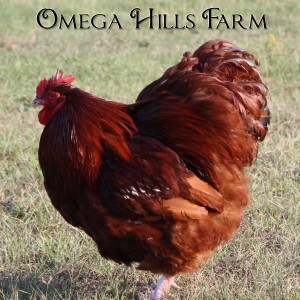 red-orpington-rooster-1