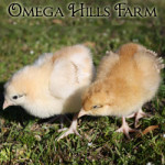 red-orpington-chick-250x250